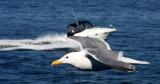 BIRD - GULL - GLAUCOUS-WINGED GULL - PUGET SOUND NEAR SEATTLE (5).JPG