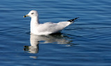 BIRD - GULL - RING-BILLED GULL - SEQUIM BAY (3).JPG