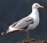 BIRD - GULL - WESTERN - SALT CREEK (8).jpg