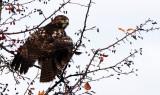 BIRD - HAWK - RED-TAILED HAWK - JAMESTOWN WA (11).JPG