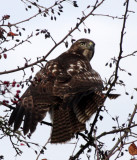 BIRD - HAWK - RED-TAILED HAWK - JAMESTOWN WA (20).JPG