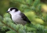 BIRD - JAY - GRAY JAY - MORSE CREEK CANYON OVERLOOK (6).jpg