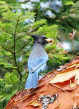 BIRD - JAY - STELLER'S JAY - LAKE FARM TRAILS (3).JPG