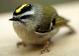 BIRD - KINGLET - GOLDEN CROWNED - LAKE FARM D.jpg