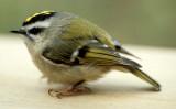 BIRD - KINGLET - GOLDEN CROWNED - LAKE FARM E.jpg
