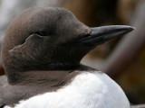 BIRD - MURRE - COMMON MURRE - FRESHWATER BAY (11).jpg