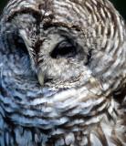 BIRD - OWL - BARRED - OP.jpg