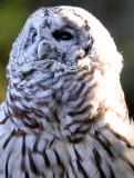 BIRD - OWL - BARRED OWL - WOODLAND PARK WA (2).JPG