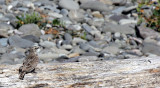 BIRD - PIPIT - AMERICAN PIPIT - ELWHA RIVER MOUTH BEACH (4).JPG