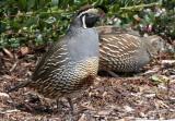 BIRD - QUAIL - CALIFORNIA QUAIL - MORSE CREEK WA (12).JPG