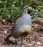 BIRD - QUAIL - CALIFORNIA QUAIL - MORSE CREEK WA (19).JPG