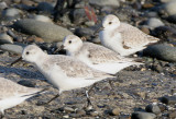 BIRD - SANDERLINGS - EDIZ HOOK PA HARBOR (9).jpg
