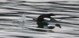BIRD - SCOTER - BLACK-WINGED - STRAIT OF JUAN DE FUCA WA L.jpg