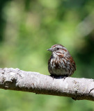 BIRD - SPARROW - SONG SPARROW - DUNGENESS RIVER AT RAILROAD PARK WA (2).JPG
