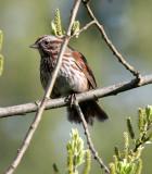 BIRD - SPARROW - SONG SPARROW - LAKE FARM WOODS.JPG