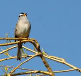 BIRD - SPARROW - WHITE-CROWNED SPARROW - LAKE FARM WOODS WA (16).JPG