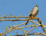 BIRD - SPARROW - WHITE-CROWNED SPARROW - LAKE FARM WOODS WA (26).JPG