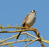 BIRD - SPARROW - WHITE-CROWNED SPARROW - LAKE FARM WOODS WA (27).JPG