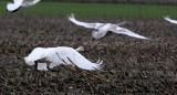 BIRD - SWAN - TRUMPETER SWAN - SCHMUCK ROAD SEQUIM (4).JPG