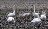 BIRD - SWAN - TRUMPETER SWAN - SCHMUCK ROAD SEQUIM (8).JPG