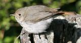 BIRD - THRUSH - SWAINSON'S THRUSH - CATHARUS USTULATUS - LAKE FARM WOODS WA (12).JPG