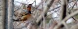 BIRD - THRUSH - VARIED THRUSH - LAKE FARM TRAILS WA (9).JPG