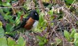 BIRD - TOWHEE - RUFOUS-SIDED TOWHEE - PORT ANGELES WA 6.jpg