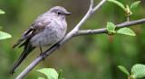 BIRD - TOWNSEND'S SOLITAIRE - LAKE FARM WA (4).jpg