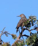 BIRD - WOODPECKER - FLICKER - NORTHERN FLICKER (12).JPG
