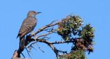 BIRD - WOODPECKER - FLICKER - NORTHERN FLICKER (8).JPG