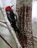 BIRD - WOODPECKER - SAPSUCKER - RED-BREASTED SAPSUCKER - SPHYRAPICUS RUBER - LAKE FARM TRAILS WA (32).JPG