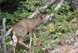 CERVID - DEER - BLACK-TAILED DEER - BUCK - HURRICANE RIDGE ROAD (18).jpg