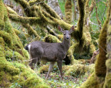 CERVID - DEER - BLACK-TAILED DEER - ELWHA RIVER VALLEY (31).JPG