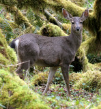 CERVID - DEER - BLACK-TAILED DEER - ELWHA RIVER VALLEY (32).jpg
