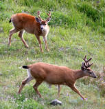 CERVID - DEER - COLUMBIA BLACK-TAILED DEER - OLYMPIC NATIONAL PARK (29).JPG