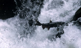 FISH - SALMON - COHO SALMON - SALMON CASCADES ON SOL DUC RIVER (19).jpg