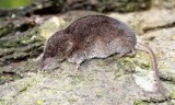 INSECTIVORE - SHREW - TROWBRIDGE'S SHREW - SOREX TROWBRIDGII - LAKE FARM TRAILS WASHINGTON (3).JPG