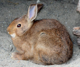LAGOMORPHA - RABBIT - SNOWSHOE HARE - ELWHA RIVER MOUTH TRAILS (20).JPG