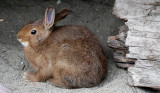 LAGOMORPHA - RABBIT - SNOWSHOE HARE - ELWHA RIVER MOUTH TRAILS (6).JPG