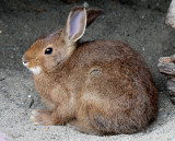 LAGOMORPHA - RABBIT - SNOWSHOE HARE - ELWHA RIVER MOUTH TRAILS (8).JPG