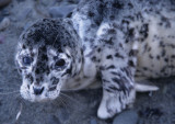 PINNIPED - HARBOR SEAL PUP F.jpg