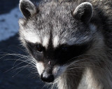 RACOON - NORTHERN RACOON - PORT ANGELES WA (7).JPG