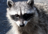 RACOON - NORTHERN RACOON - PORT ANGELES WA.JPG