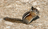 RODENT - CHIPMUNK - OLYMPIC YELLOW-PINE CHIPMUNK - OLYMPIC NATIONAL PARK (10).JPG