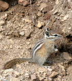 RODENT - CHIPMUNK - OLYMPIC YELLOW-PINE CHIPMUNK - OLYMPIC NATIONAL PARK (21).JPG
