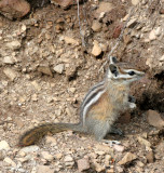 RODENT - CHIPMUNK - OLYMPIC YELLOW-PINE CHIPMUNK - OLYMPIC NATIONAL PARK (23).JPG