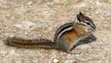 RODENT - CHIPMUNK - OLYMPIC YELLOW-PINE CHIPMUNK - OLYMPIC NATIONAL PARK (7).JPG