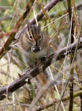 RODENT - CHIPMUNK - TOWNSEND'S CHIPMUNK - LAKE FARM WA (8).JPG