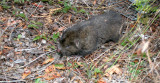 RODENT - MOUNTAIN BEAVER - APLODONTIA - LAKE FARM TRAILS (13).JPG