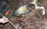 RODENT - MOUNTAIN BEAVER - LAKE FARM TRAILS (3).JPG